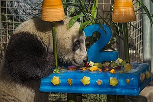 San Diego Zoo's Panda Cub Eats Bamboo Cake For Birthday