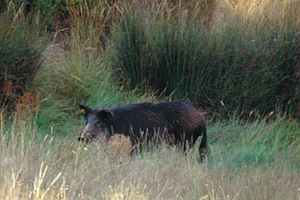 Tease photo for County Supervisors OK Killing Wild Pigs In San Diego's Backcountry