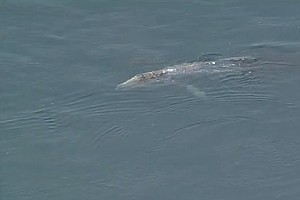 Gray Whale Swims Into Mission Bay