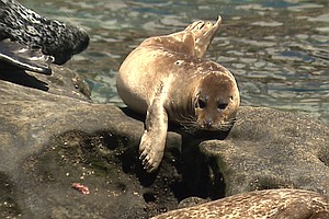 Tease photo for Coastal Commission OKs Protections For Seals At Children's Pool In La Jolla