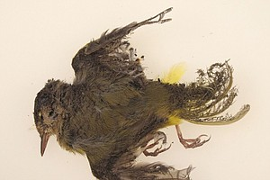 Tease photo for Unintended Consequences: Bird Deaths At California Solar Power Plants
