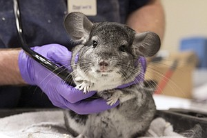 Tease photo for San Diego Humane Society Rescues 420 Chinchillas