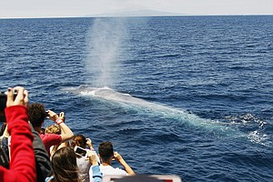 Tease photo for U.S. Pacific Blue Whales Seen Rebounding Close To Historic Levels