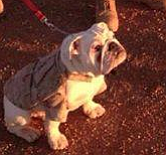 Tease photo for Bulldog Puppy PFC Smedley Butler Becomes A Marine
