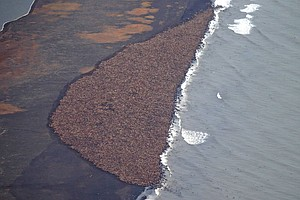 One Picture, Of 35,000 Walrus, Shows One Effect Of Global...