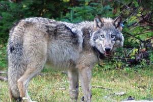 Tease photo for Preparing For The Return of Gray Wolves To California
