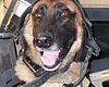 Tease photo for Military Dogs Honored During Veterans...