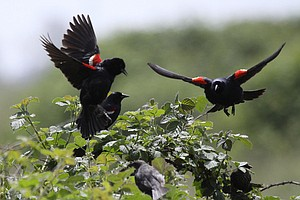 Tease photo for California Moves To Protect Tricolored Blackbird