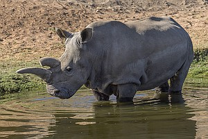 Rare Northern White Rhino Dies At San Diego's Safari Park