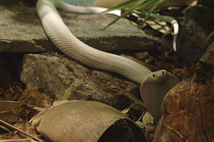 Tease photo for Monocled Cobra That Went Loose In Thousand Oaks Now At San Diego Zoo