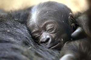 Tease photo for San Diego Zoo's Baby Gorilla Is A Crowd Pleaser