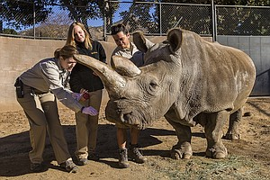 Tease photo for San Diego Zoo's Northern White Rhino Returns To Habitat