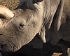 San Diego Zoo Gets Funding To Help Save Northern White Rhinos