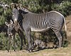Two Grevy's Zebras Born At San Diego Zoo Safari Park