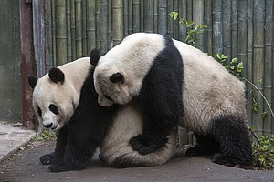 San Diego Zoo's Giant Pandas Have First Breeding Encounte...