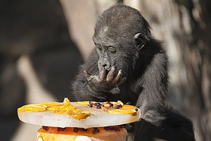 Tease photo for Baby Gorilla At Safari Park Celebrates First Birthday
