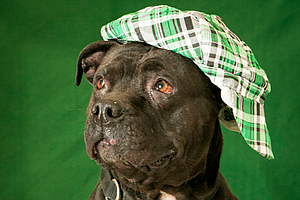 Tease photo for 'St. Pitty's Day' Promotion Aims To Find Homes For 100 Pit Bulls