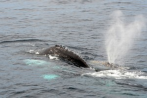 Tease photo for Scientists Use Drones To Track Whales Off California Coast