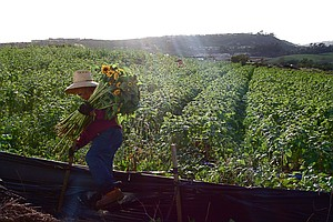 Tease photo for Hundreds Of Baja California Farmworkers Continue Strike