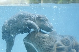 Tease photo for San Diego Zoo Welcomes Baby Hippo