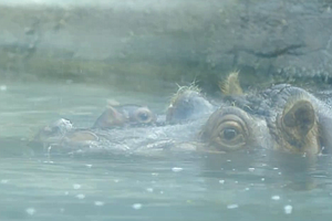 Tease photo for San Diego Zoo Says Newborn Hippo Is Doing Well