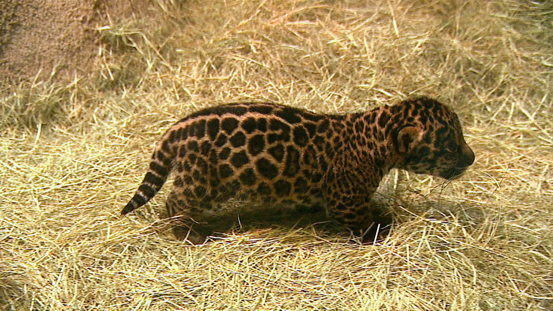 diego and baby jaguar - photo #33