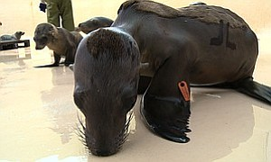 Tease photo for SeaWorld Returns 22 Rehabilitated Sea Lions To Wild