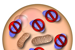 Salk Scientists Propose New Mitochondrial Disease Fix