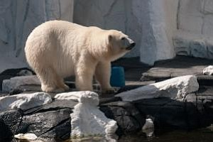 Tease photo for Polar Bear At SeaWorld San Diego Artificially Inseminated