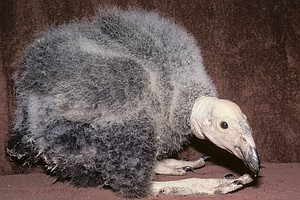 Tease photo for San Diego Zoo's California Condor Breeding Program To Continue