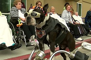 Tease photo for San Diego's Most Famous Therapy Dog Loses Certification Because Of Biker Outfit