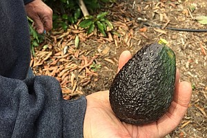 New Growing Technique Relieves Drought Stricken Avocado F...