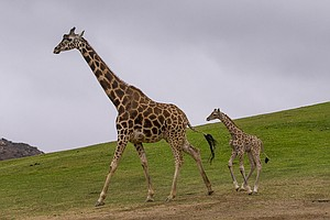 San Diego Zoo Safari Park Welcomes Baby Giraffe