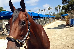 Tease photo for American Pharoah Arrives At Del Mar For Training