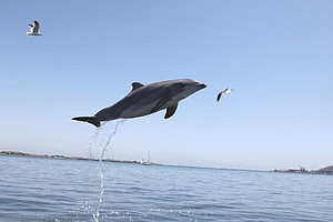 What San Diego Scientists Are Discovering About Dolphins ...