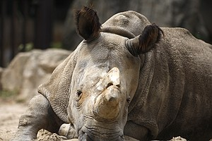 Northern White Rhino Dies In Czech Republic