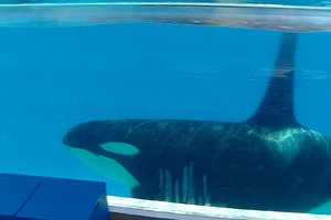 Tease photo for SeaWorld San Diego's Killer Whale Gets An Electrocardiogram