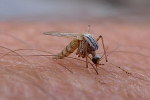 Tease photo for Peak Time For West Nile Virus Looming