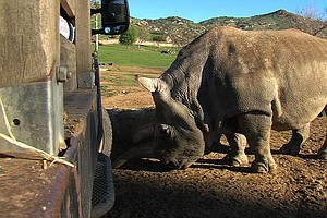 San Diego's Northern White Rhino To Return Following Biopsy