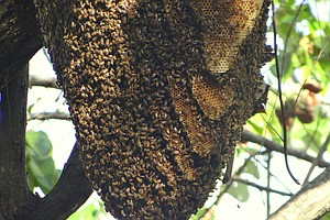 Tease photo for UC San Diego Study: Spread Of Africanized Bees May Be Good For Agriculture