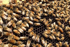 Tease photo for Drought Is Driving Beekeepers And Their Hives From California