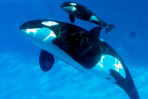 Tease photo for SeaWorld To Challenge Coastal Commission's Ban On Orca Breeding