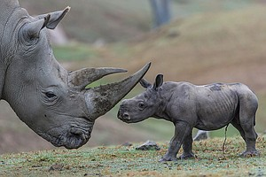 Southern White Rhino Baby Makes Debut At San Diego Zoo Sa...