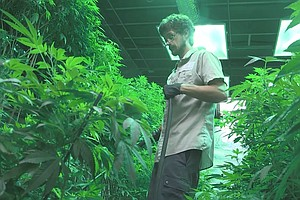 With No U.S. Standards, Pot Pesticide Use Is Rising Publi...
