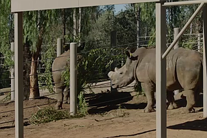 Tease photo for San Diego Zoo Gets More Rhinos In Effort To Save Species