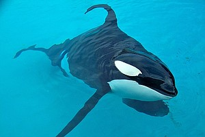 SeaWorld To Phase Out Shamu Shows, Replace With Exhibit