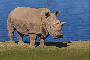 Tease photo for Endangered Northern White Rhino Dies In San Diego