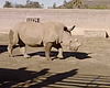 Scientists Examine Southern White Rhinoceros To Save Near-Extinct C...
