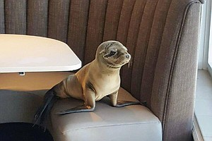 Sickly Sea Lion Pup Rescued From The Marine Room