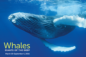 Natural History Museum Exhibit Takes In-Depth Look At Whales